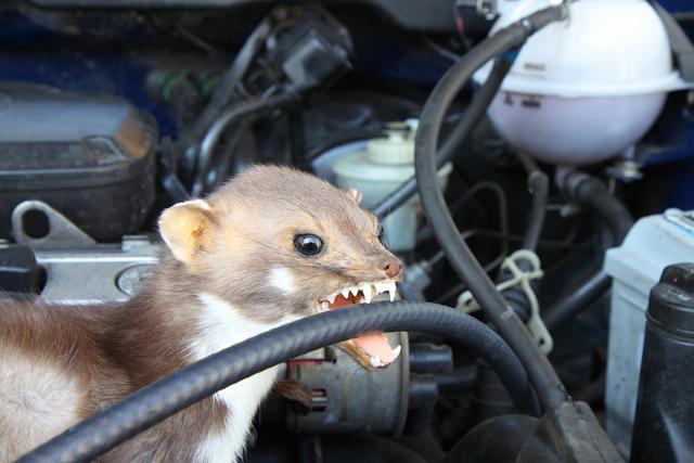 Tipp: Vor der Urlaubsfahrt   - Motorraum auf Marderbisse checken