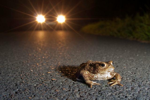 Hochphase der Krötenwanderung - Schon der Fahrtwind kann töten